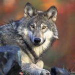 Wolf, Wolf-hybrid